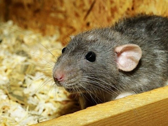 house rat in attic