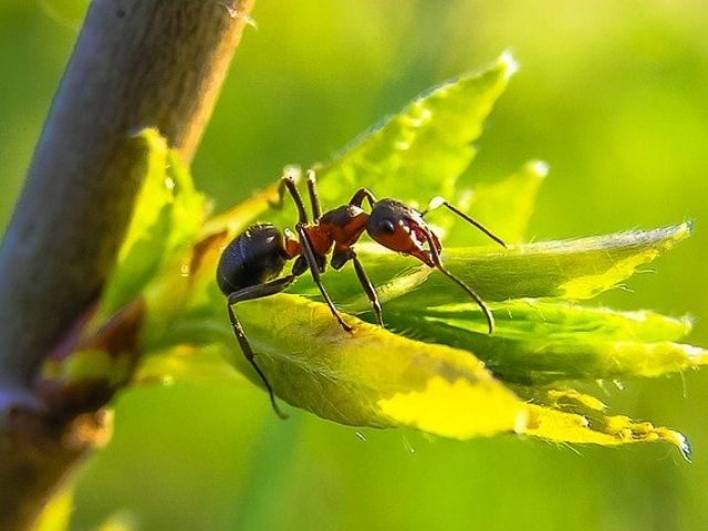 red fire ant on a leaf