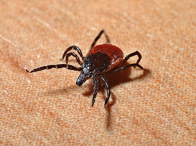 up close image of a red and black tick