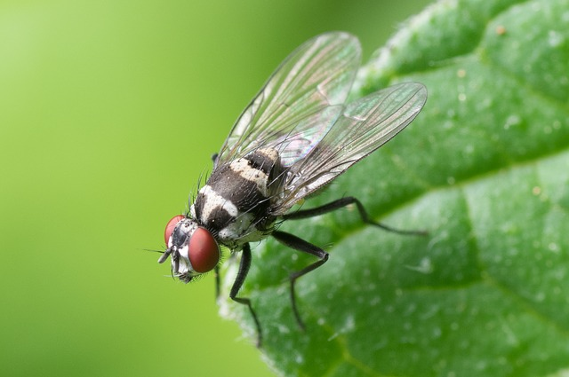 close up image of a common house fly
