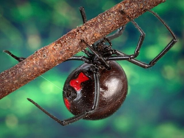 large black widow spider up close