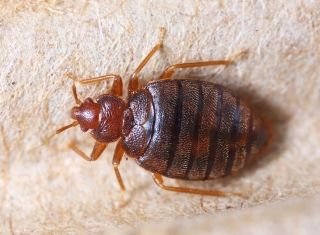 large texas bed bug up close