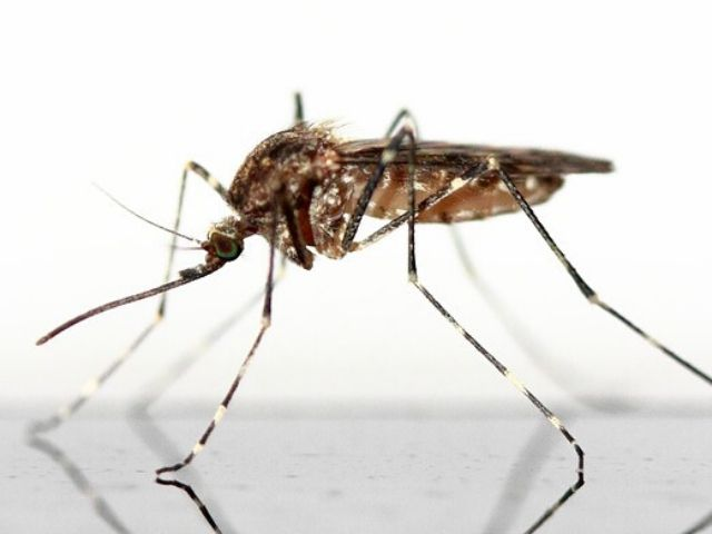 pest library thumbnail - mosquito up close