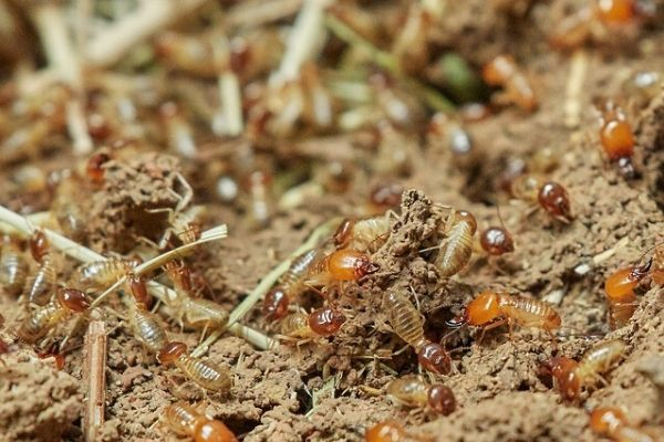 group of termites in Pearland Texas up close