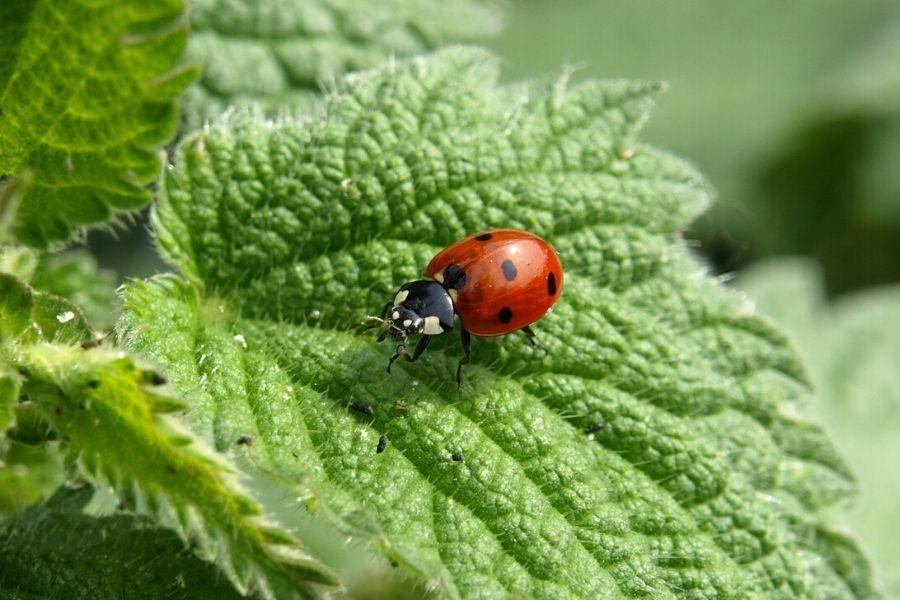 ladybug on leaf - beneficial pests
