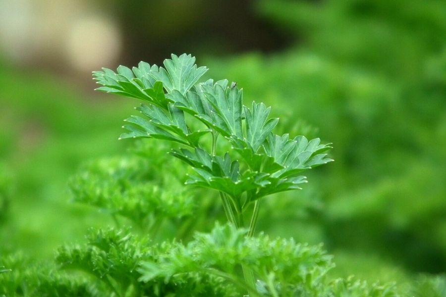 parsley plant up close