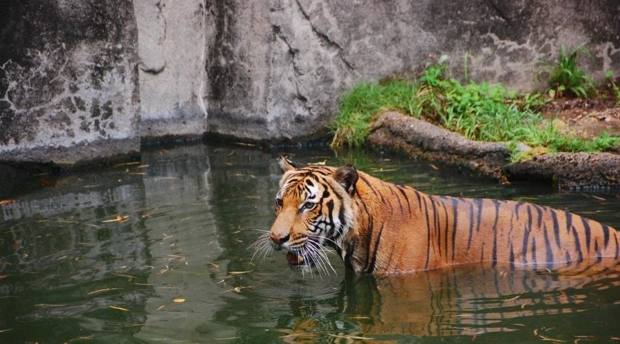 tiger at the houston zoo