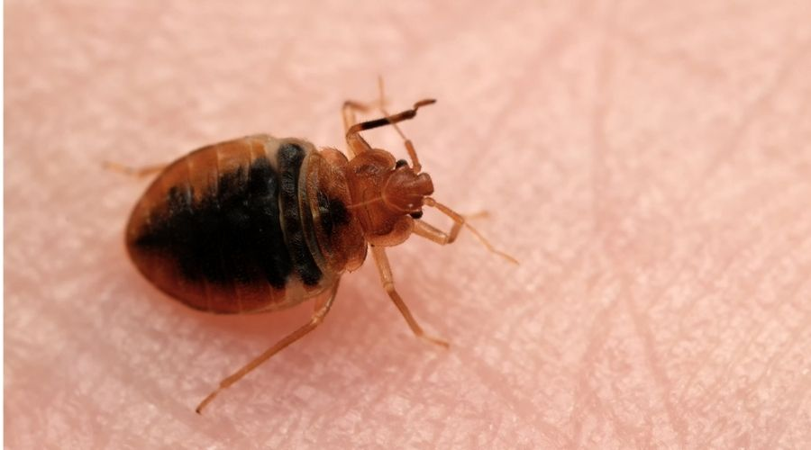 bed bug up close on persons skin