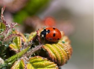 ladybug eating aphids - biological pest control