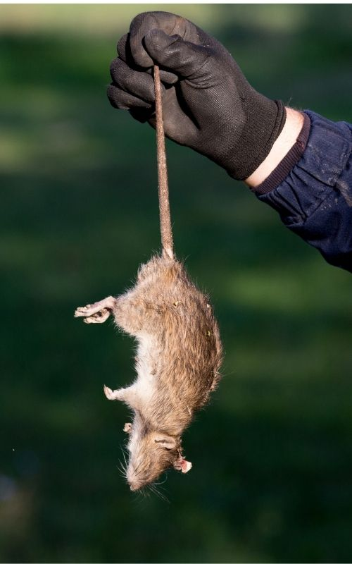 a dead rat held by a gloved person