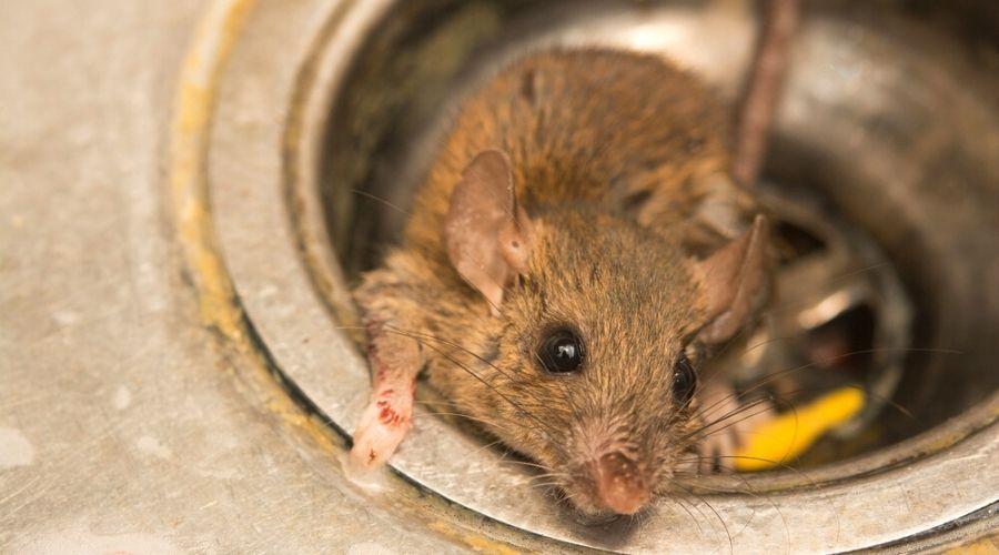 a wild rat on the kitchen sink