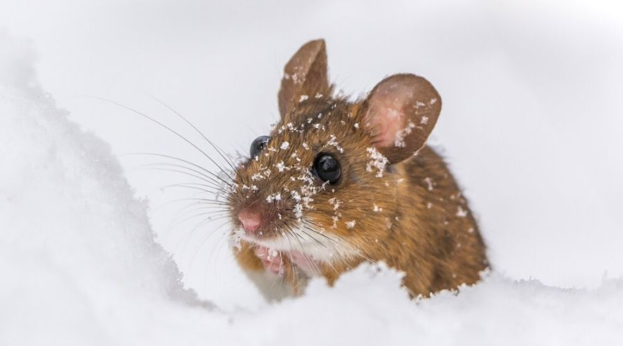 mouse on ice