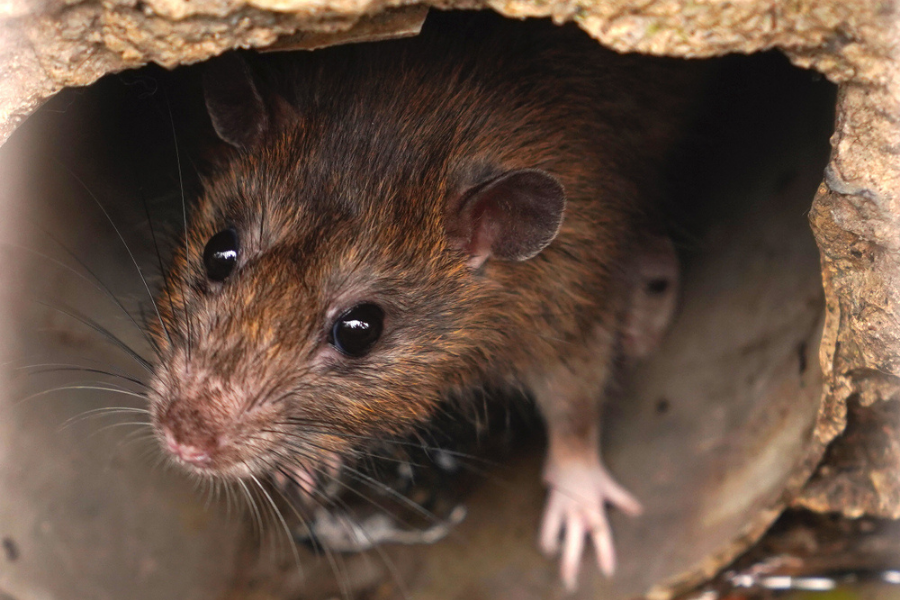 How To Get Rid Of Rats In Baytown, TX