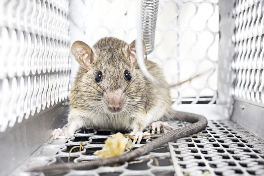 rat in a spring trap