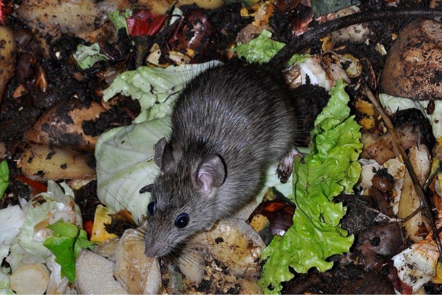 a rat on food waste