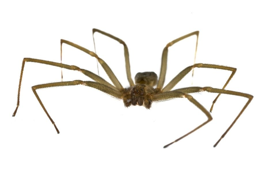 brown recluse spider on white background