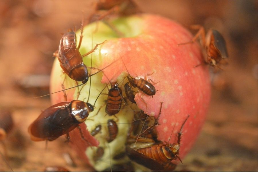 cockroaches eating apple in pearland tx
