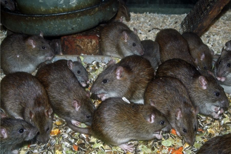 mice and rats eating in pearland tx