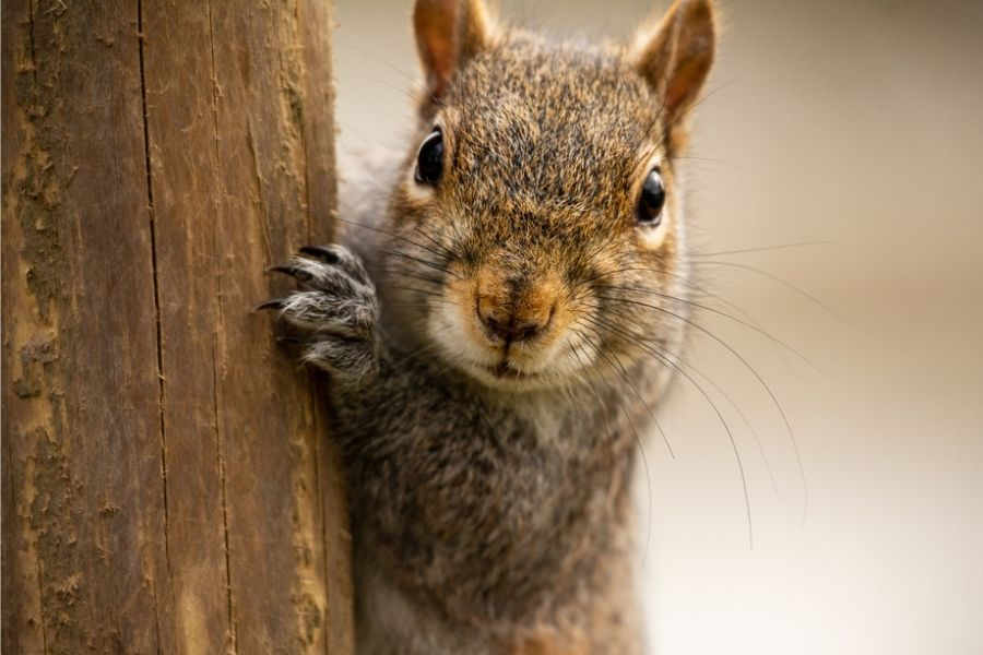 rodent squirrel close up