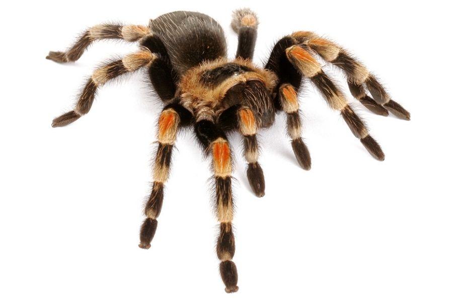 tarantula on white background