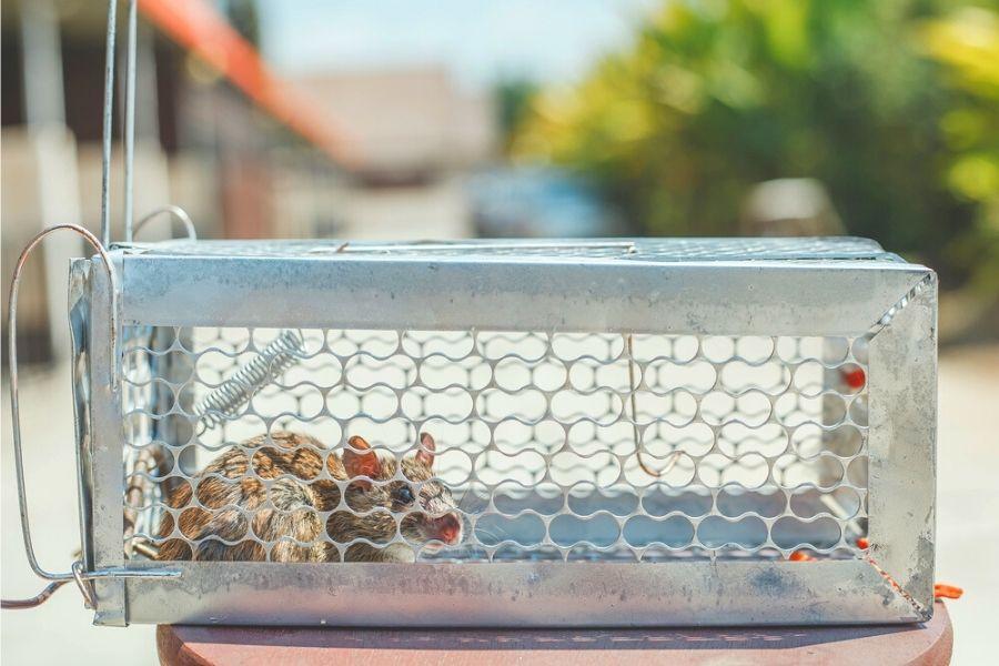 live mouse trap