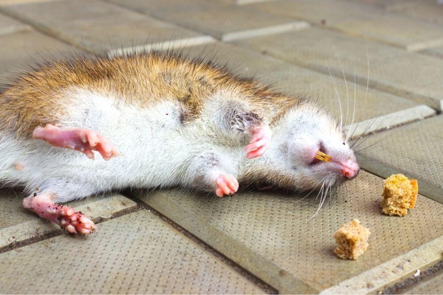 poisoned dead rat